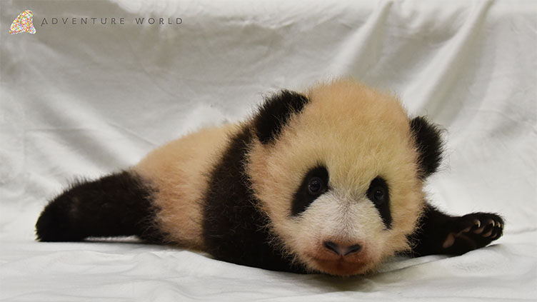 赤ちゃんパンダ誕生!和歌山ほっこり探訪のメインビジュアル